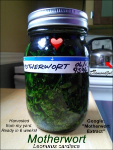 Medicines-Motherwort-Tincture-0611